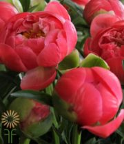 Coral Charm Peonies, 20 Stems (free Shipping)