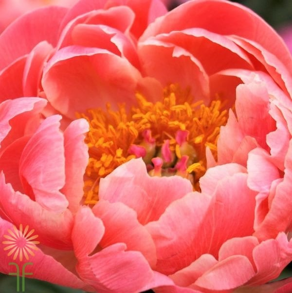 Buy wholesale, fresh and beautiful coral Peonies for your wedding or event online