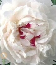 Buy Wholesale, Fresh And Beautiful White Festiva Maxima Peonies For Your Wedding Or Event Online