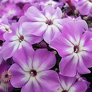 wholesale flowers | phlox- lavender