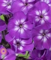 Phlox-purple