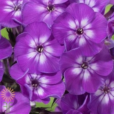 wholesale flowers | phlox- purple