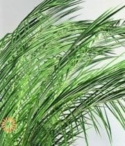 Phoenix Palm Leaves