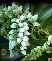 White Pieris/Andromeda
