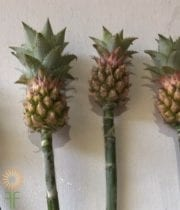 Pineapple, Ornamental-mini-green