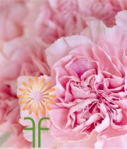Carnations-light Pink