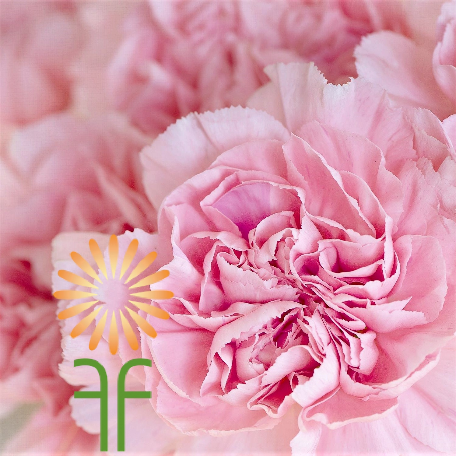 Buy Beautiful Fresh Natural Light Pink Carnation Flowers Online Today