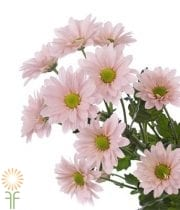 Mums, Spray-Daisy-pink