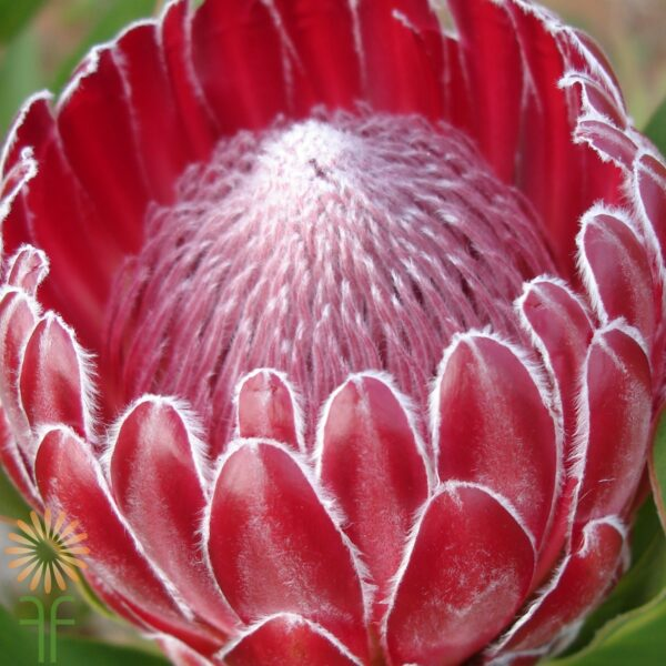 wholesale flowers | protea red baron