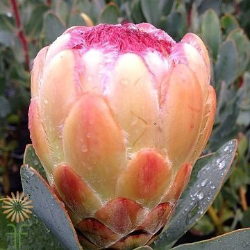 wholesale flowers | protea- grandicolor peach