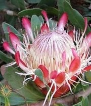 Pink Sugar Bush Protea