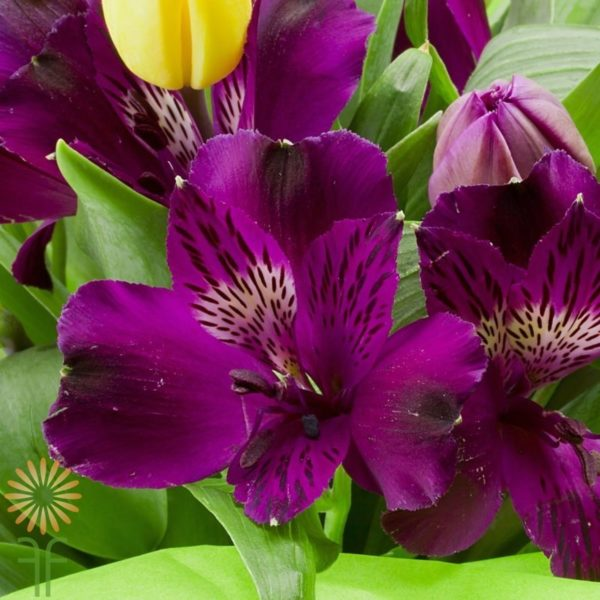 Wholesale purple-alstroemeria-lily