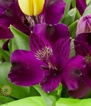Alstroemeria-purple