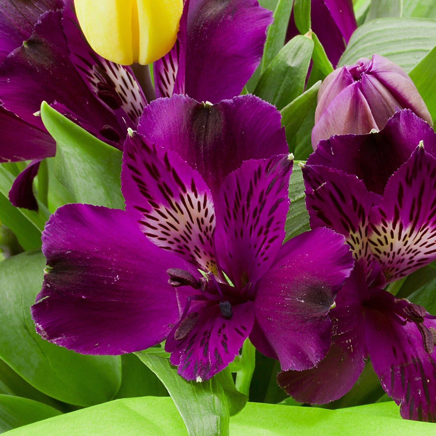 Buy Fresh Purple Alstroemeria Lily Flowers Online Today