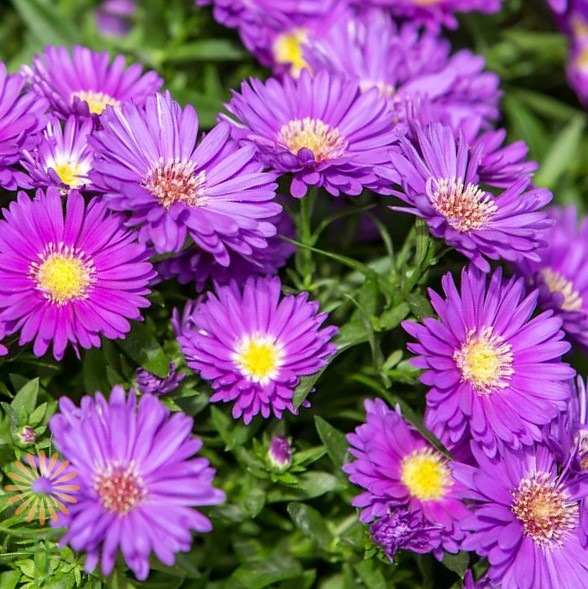 wholesale purple-aster-flowers