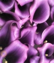 Purple Mini Callas