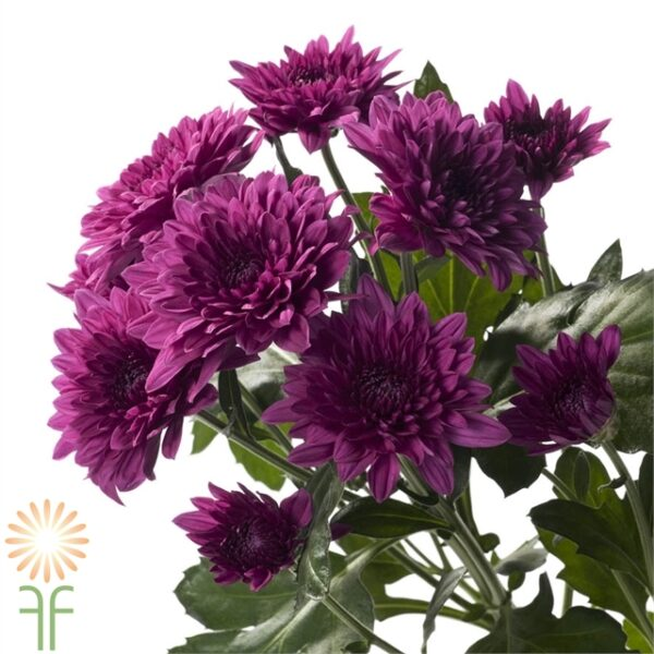 wholesale flowers | spray mums- cushion purple