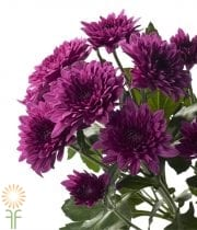 Purple Cushion Spray Mums