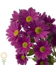 Mums, Spray-Daisy-purple