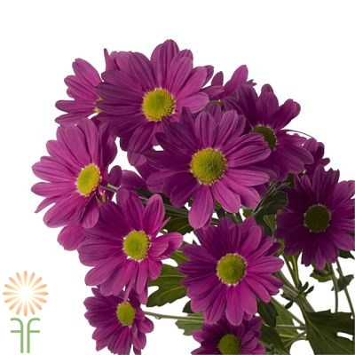 wholesale flowers | spray mums daisy purple
