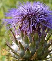 Thistle-purple