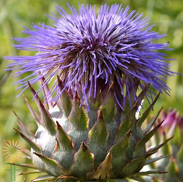 purple_thistle