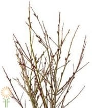 French Pussy Willow, Medium