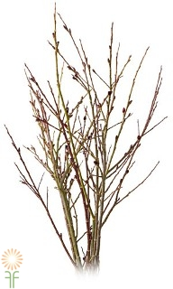wholesale flowers | pussy willow french