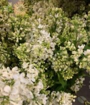 White Lilac (domestic)