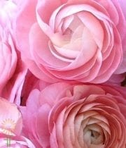 Wholesale Flowers | Ranunculus Tecate Light Pink