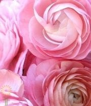Light Pink Tecate Ranunculus