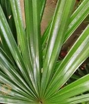 Raphis Palm Fronds, Medium