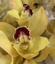 Yellow Cymbidium Orchids, Large