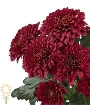 Mums, Spray-Cushion-red