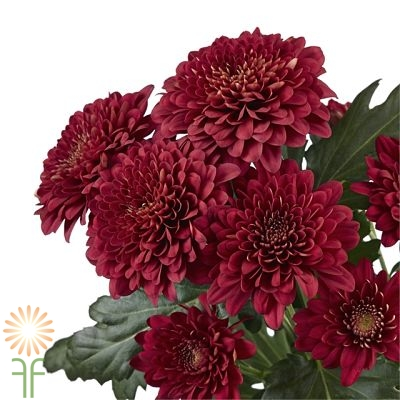 wholesale flowers | spray mums- cushion red