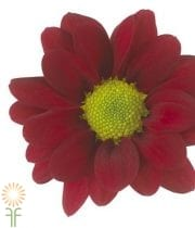 Red Daisy Spray Mums