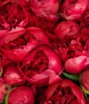 Buy Wholesale, Fresh And Beautiful Red Peonies For Your Wedding