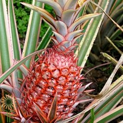 red-pineapple_