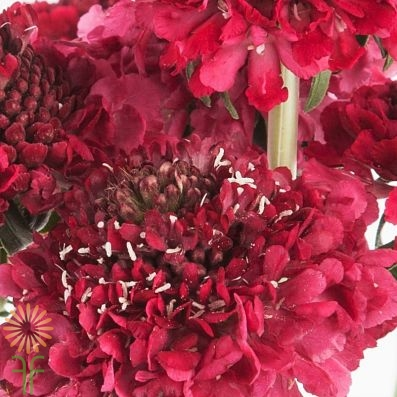 wholesale flowers   scabiosa red