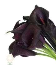 Purple Renoir Mini Callas
