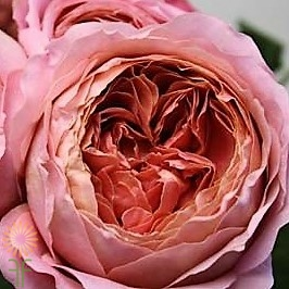 Buy Wholesale Pink Romantic Antike Garden Roses Online