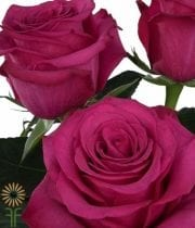 Rose, S.A.-Roseberry 50CM-hot Pink/magenta