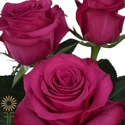 wholesale flowers | rose roseberry