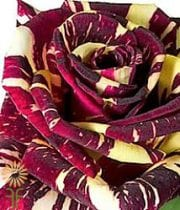Burgundy Abracadabra Spray Roses,