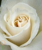 Rose, S.A.-Anastasia 50CM-cream/white