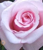 Pink Anna Roses