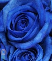 Rose, S.A.-Tinted 50CM-blue