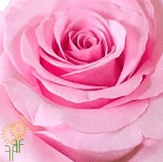 wholesale flowers | rose akito pink