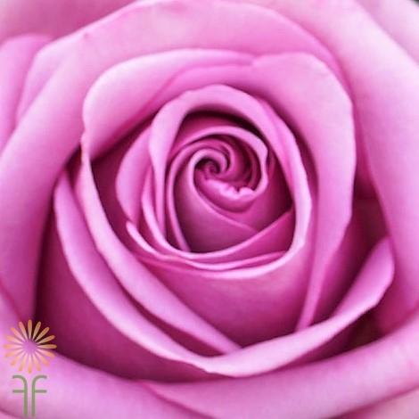 wholesale flowers | rose cool water