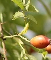 Rose Hip, Branches-orange